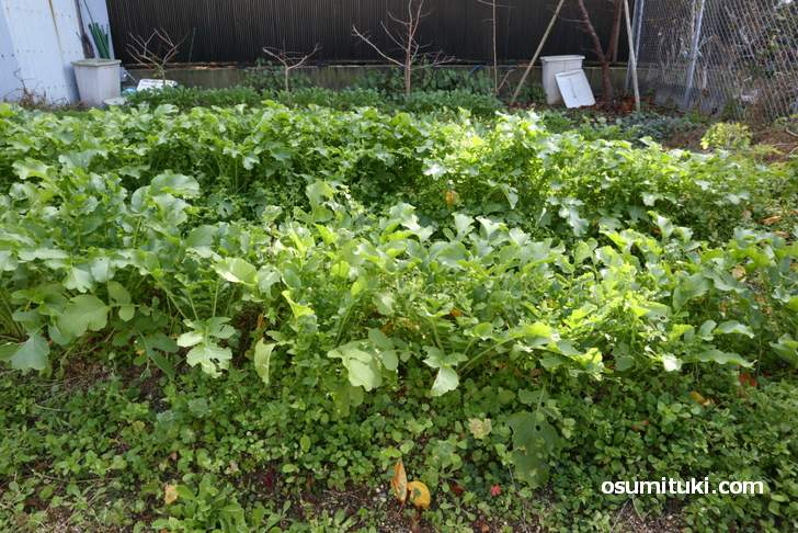 田辺大根は大阪市内の栽培であることが重要なんだそうです