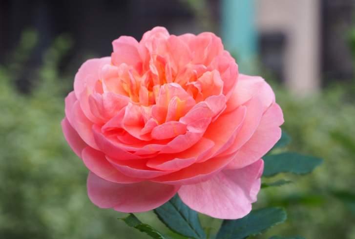 ボスコベルとはバラの品種のことです