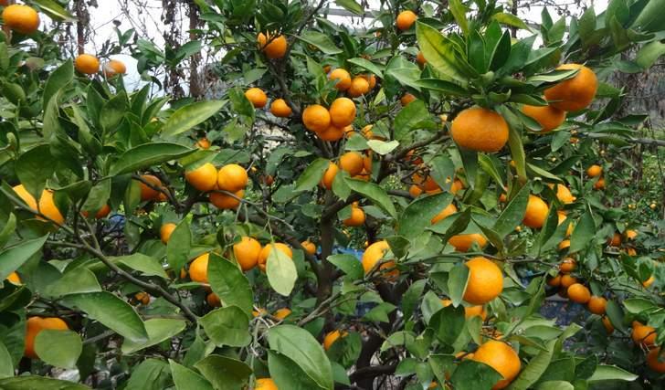 下蒲刈島でミカン・レモン農家を営む菅原常司さんが『人生の楽園 新春スペシャル』で紹介