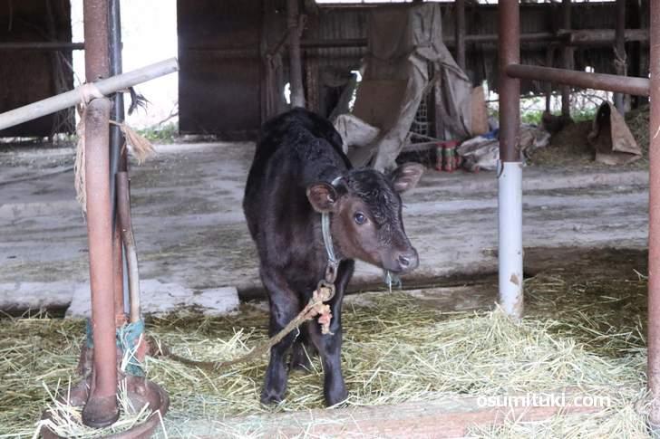 クローバー牧場(京都府木津川市)の仔牛