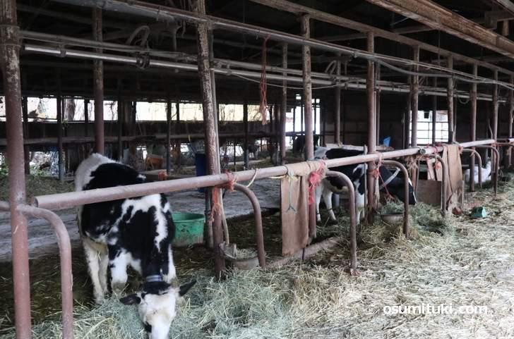 日本で4箇所でしか生産できない「特別牛乳」が生まれるクローバー牧場(京都府木津川市)