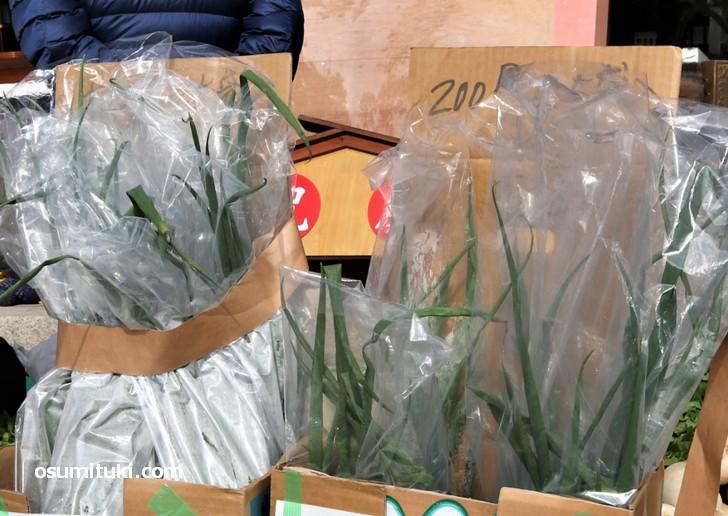 難波ネギは「葉葱」で、柔らかいので成長すると折れてしまいます