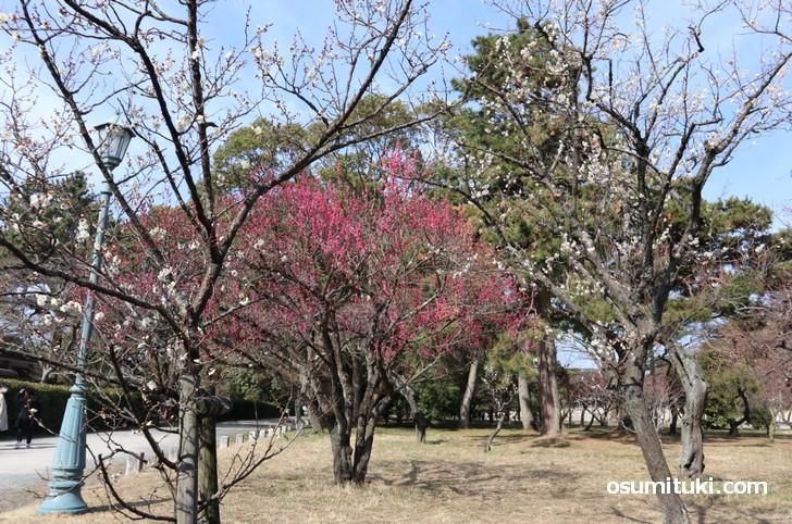 京都御苑の梅林(2019年2月25日撮影)