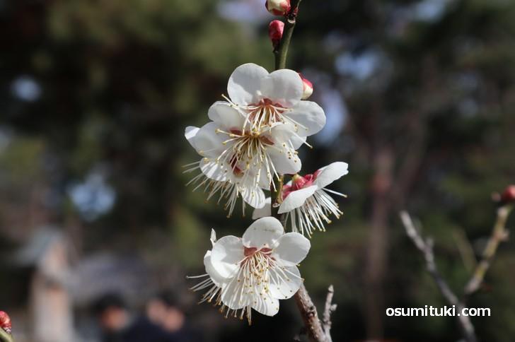 京都御苑の梅林は昨年より半月早く咲き始めています