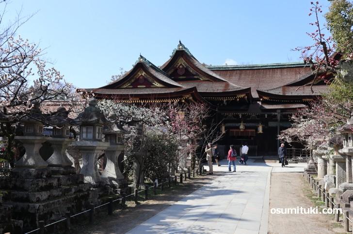 京都の北野天満宮で梅が見頃です(2019年2月26日撮影)