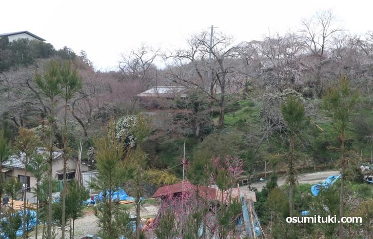 京都「原谷苑」桜の開花状況(2019年3月24日)