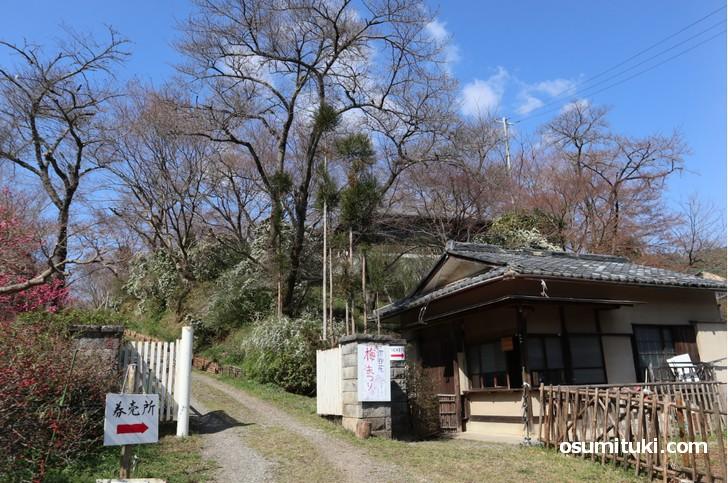 京都「原谷苑」桜の開花状況(2019年3月26日)