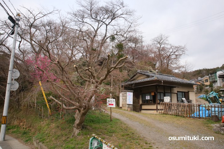 京都「原谷苑」桜の開花状況(2019年3月28日)