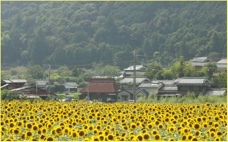 兵庫県佐用郡佐用町のヒマワリ畑(南光ひまわり畑)