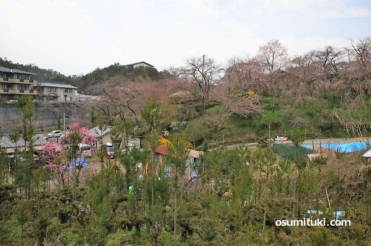 京都「原谷苑」桜の開花状況(2019年3月31日)