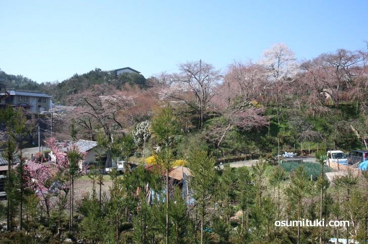 京都「原谷苑」桜の開花状況(2019年4月4日)