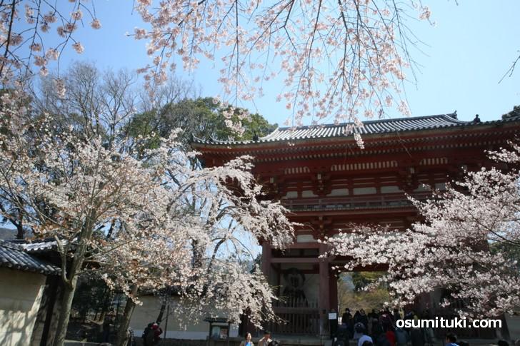 醍醐寺で桜が満開になりました