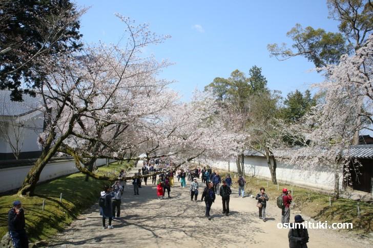 醍醐寺仁王門前の桜、ツボミよりも開花した方が多くなっています