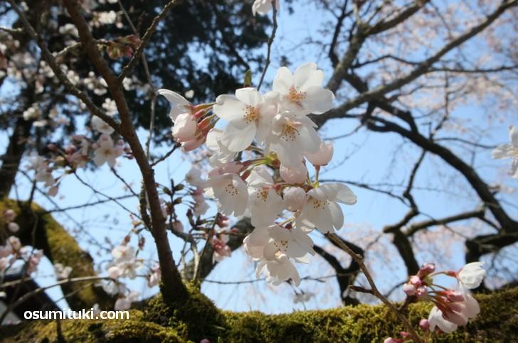 豊臣秀吉が一族の栄華を誇るために畿内から700本の桜を集めたといわれています