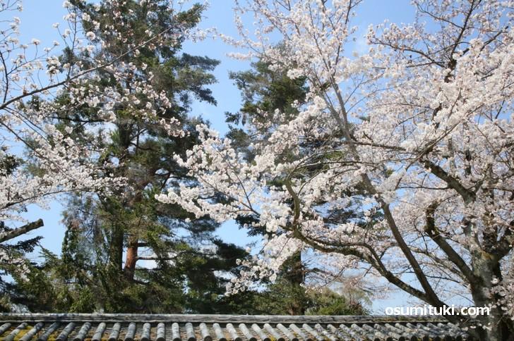 京都で歴史ある桜の名所といえば豊臣秀吉が花見をした「醍醐寺」