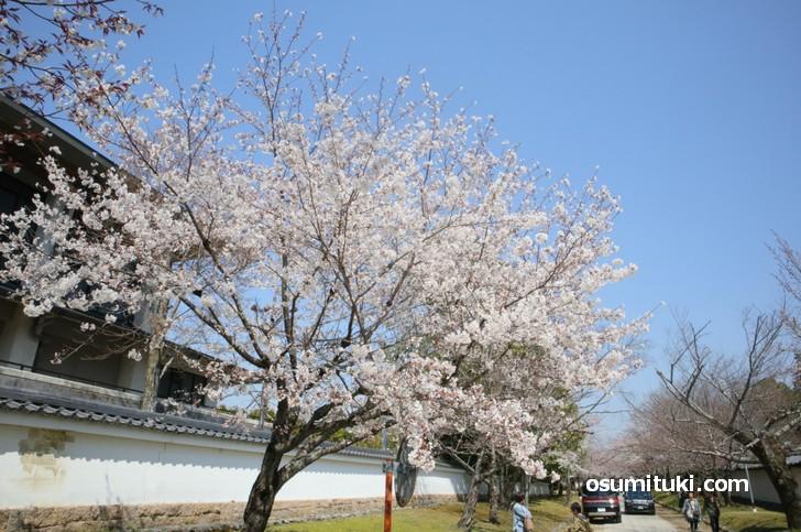 駐車場から三宝院へ向かう途中、境内に桜がたくさん咲いています