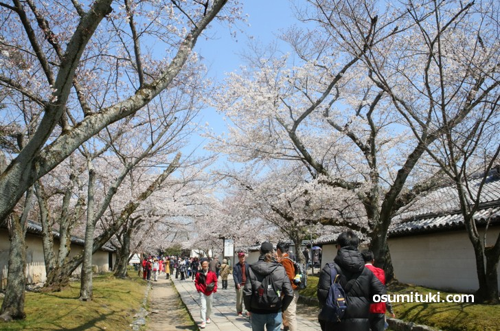 境内を歩いているだけでも桜を堪能できました