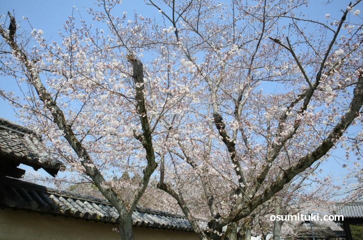 しだれ桜やソメイヨシノは満開です