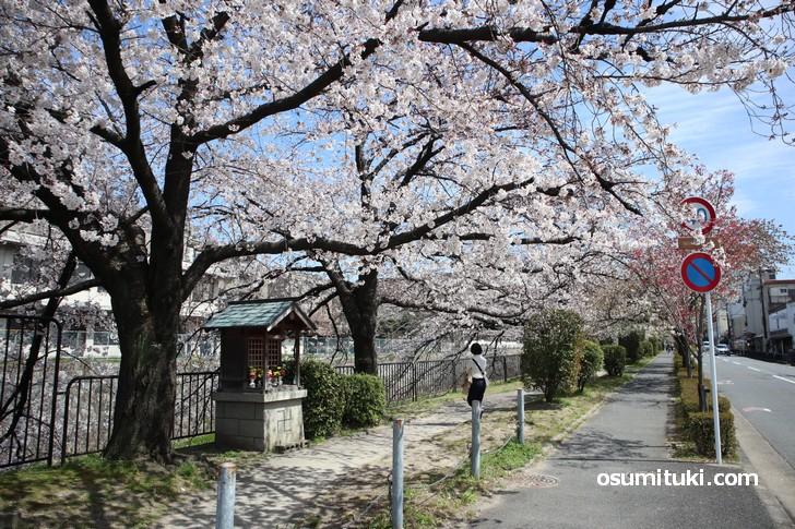 冷泉通(神宮丸太町)から見た疎水の桜