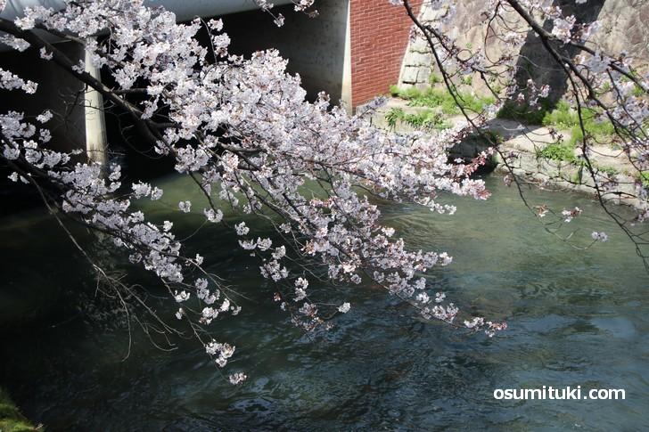 無料で見られる岡崎エリアと蹴上エリアの桜が見頃です(2019年4月5日)