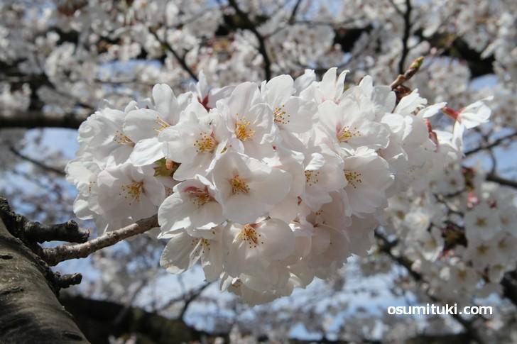 満開の桜も多くありました(京都・岡崎エリア)