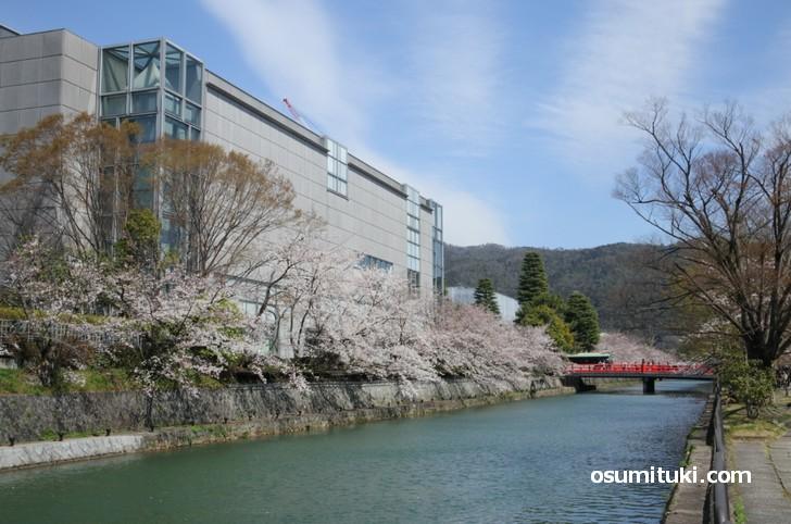 京都国立近代美術館の周辺が一番の桜スポットです