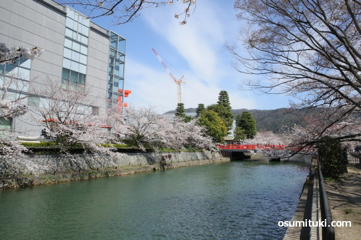 途中で平安神宮の大鳥居と桜並木の撮影スポットがあります