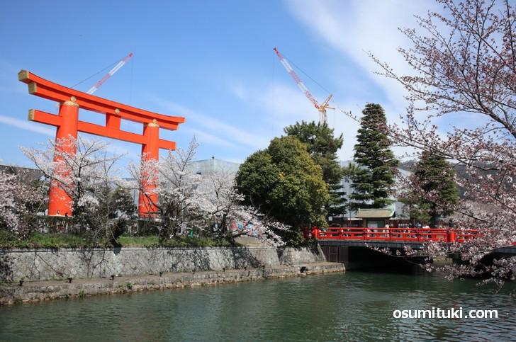 平安神宮の大鳥居と桜並木の写真
