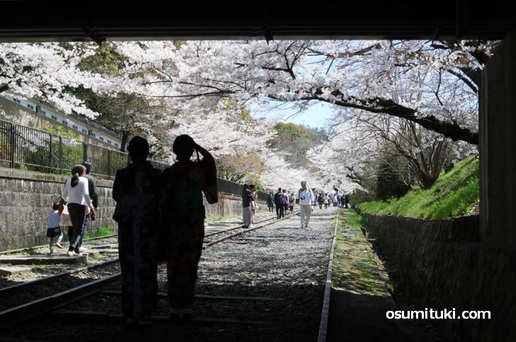 昔の傾斜鉄道(インクライン)沿いにも桜がたくさん!