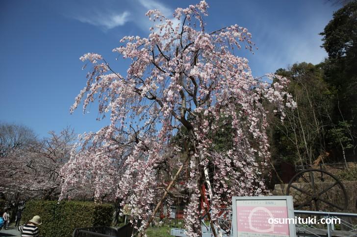 神宮丸太町から2.5kmほどの行程(徒歩30分)で見られる桜を紹介しました