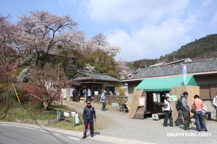 京都「原谷苑」桜の開花状況(2019年4月6日)