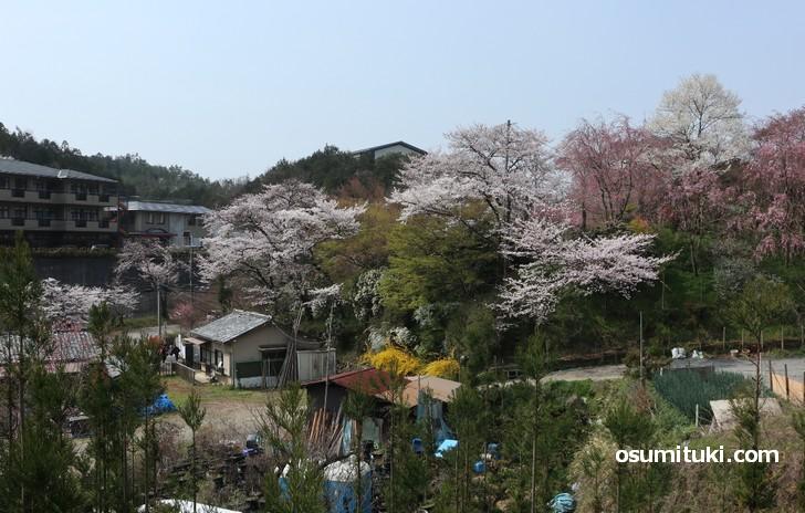 京都「原谷苑」桜の開花状況(2019年4月7日)