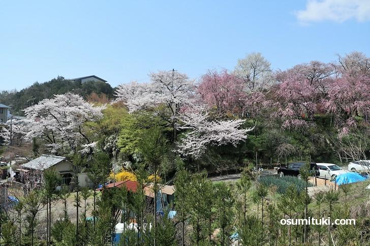 京都「原谷苑」桜の開花状況(2019年4月8日)