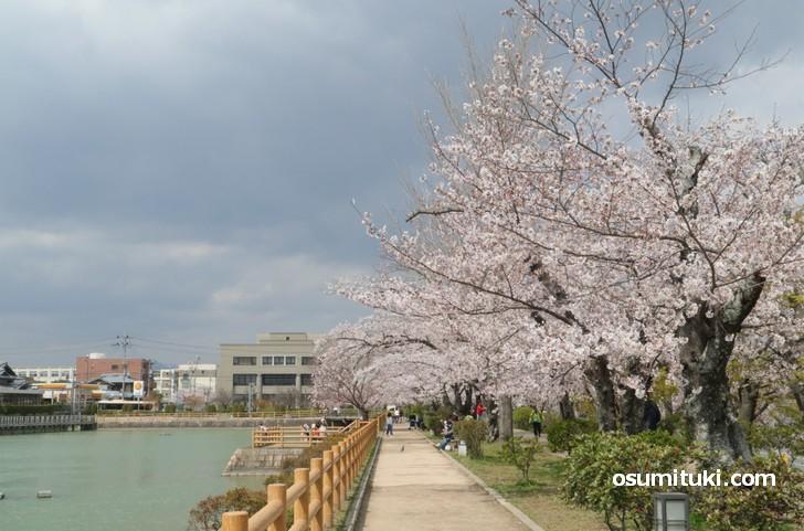桜が満開の八条ヶ池(2019年4月8日撮影)
