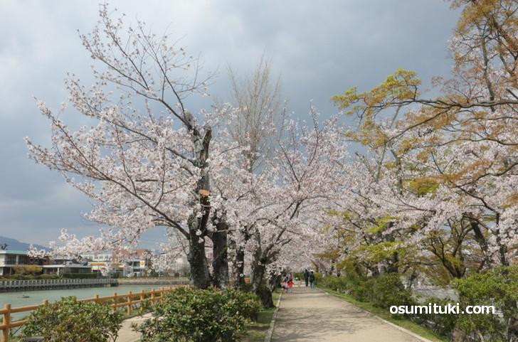 桜並木を散歩しても10分程度でお手軽な花見ができます
