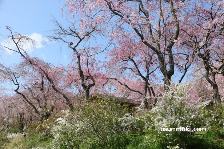 桜と春の花々を一緒に撮影すると良い感じになります