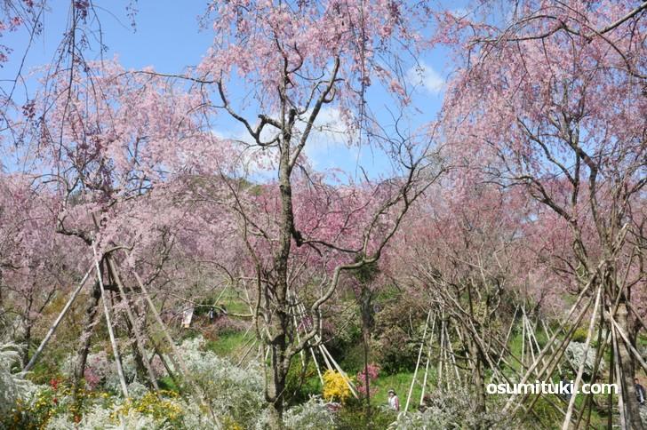 所狭しと桜が植えられており、どこを見たかわからなくなるほどです