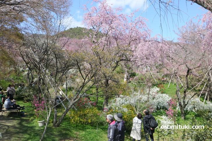 しだれ桜、ソメイヨシノなどが咲き乱れています(御室桜以外)
