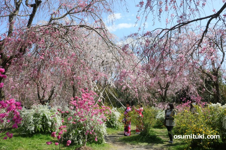早咲きの枝垂れ桜もちょうど見頃です