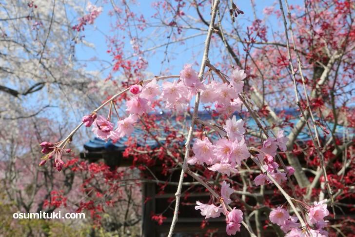 原谷苑はピンクと白の花びらが混在していてキレイです