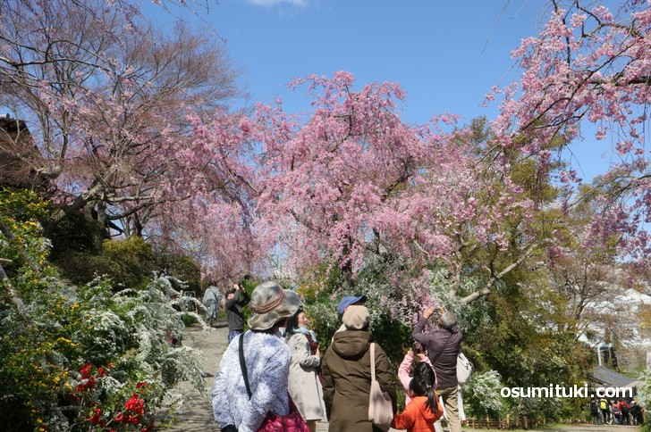 入口すぐの桜、敷地全部余すところなく桜の絶景ポイントなのが原谷苑の特徴