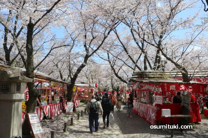桜が見頃となった平野神社の境内
