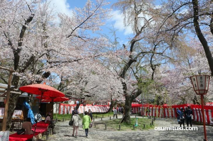 完全な満開となった平野神社