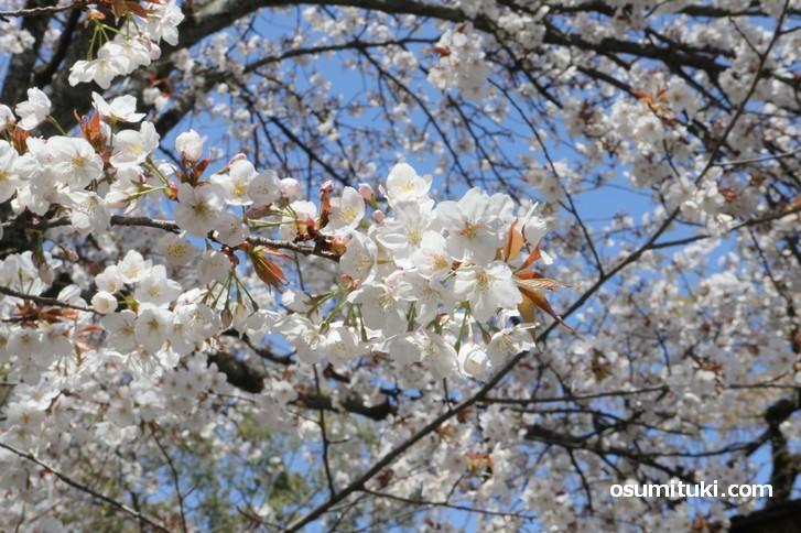無料エリアでも充分桜を見ることができました