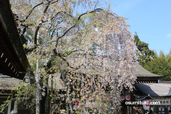 早咲きの枝垂れ桜はもう終盤です