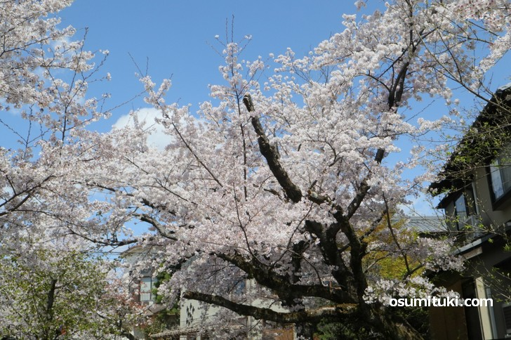 南から北を向いて撮影した桜の木