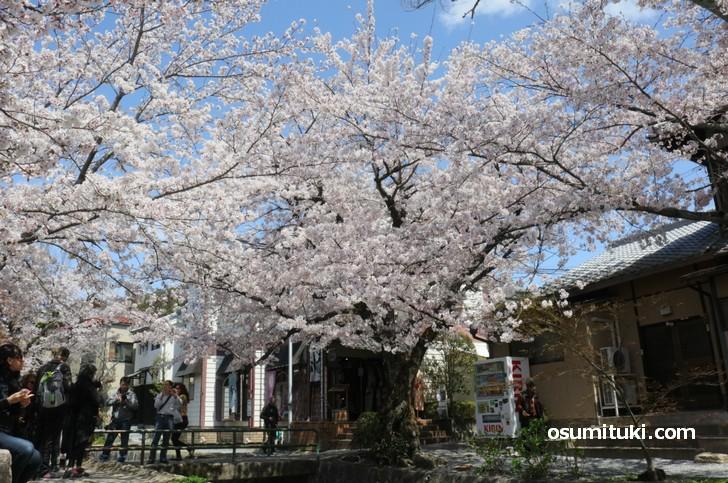 大きな桜の木もあります