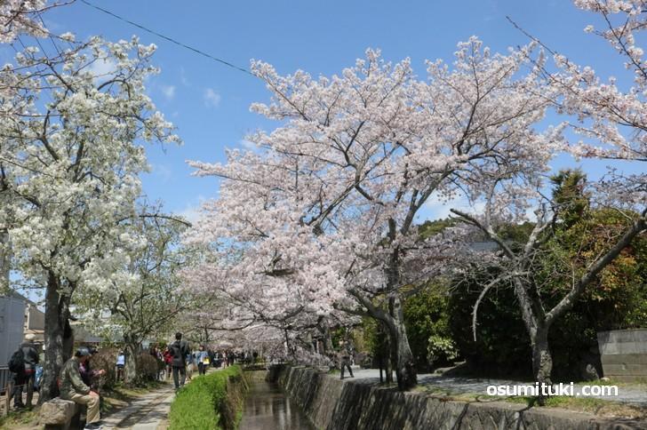 白川疎水に沿って咲く満開の桜