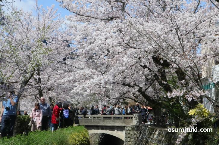 桜が満開見頃となった哲学の道(2019年4月9日撮影)