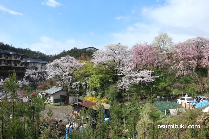 京都「原谷苑」桜の開花状況(2019年4月11日)